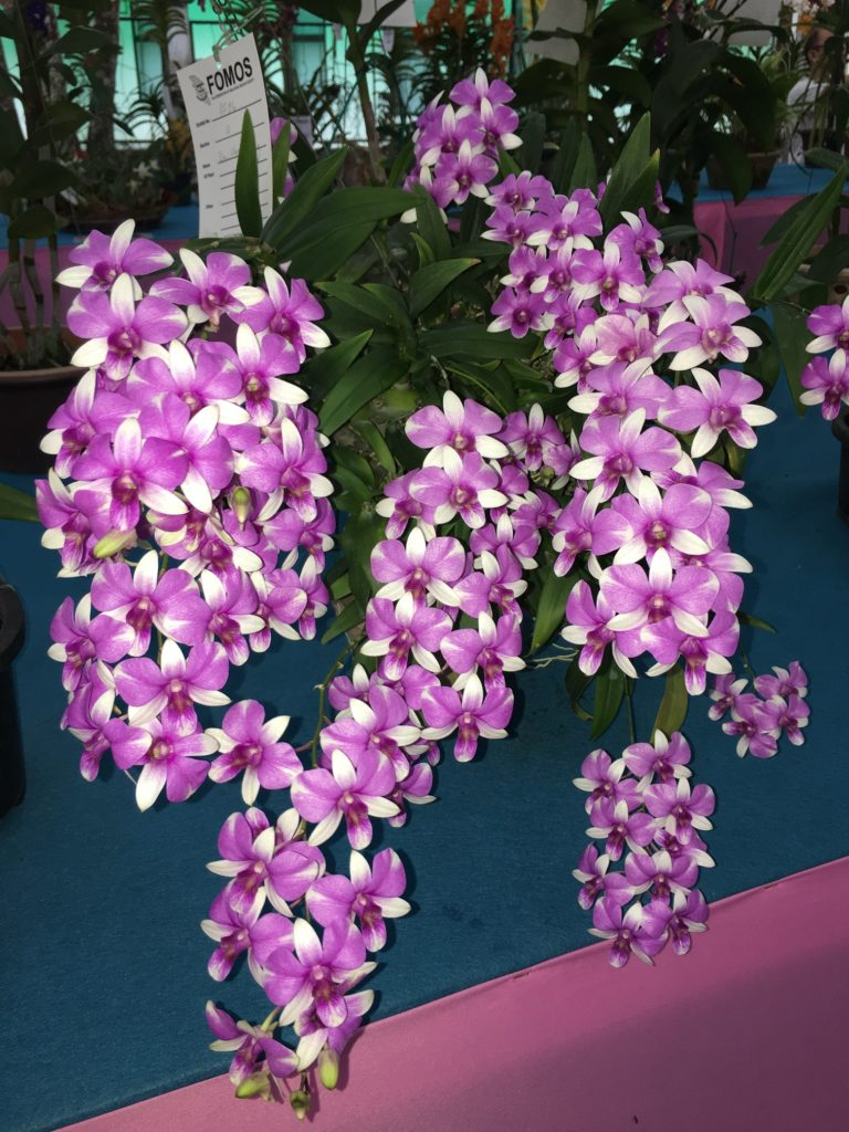 Penang Orchid Show 2019